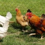 Les poules pondeuses élisent domicile dans nos jardins