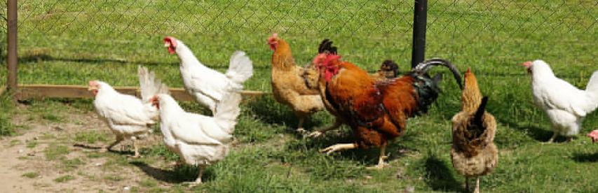 des poules pondeuses dans un jardin
