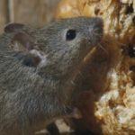 Comment protéger sa maison contre l'invasion des rats?
