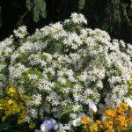Découvrez le Choisya White Dazzler, un arbuste idéal pour votre jardin