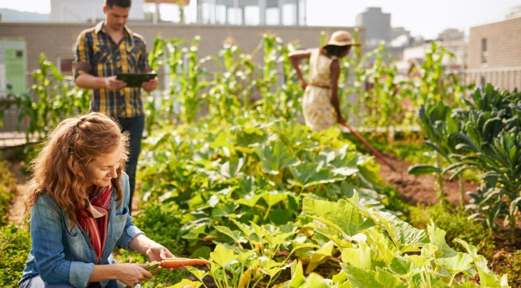 Femme cultivant des carottes