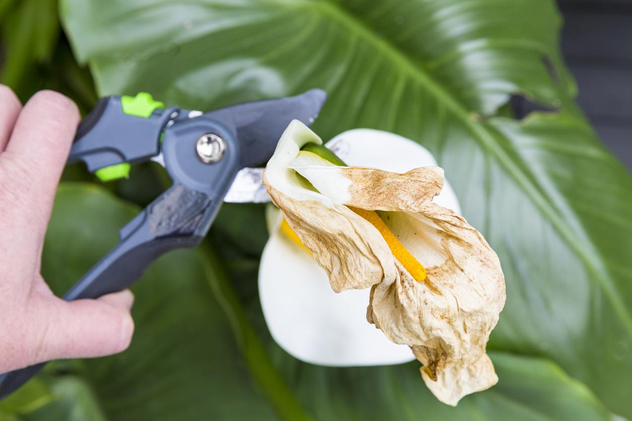 coupe fleur fanée