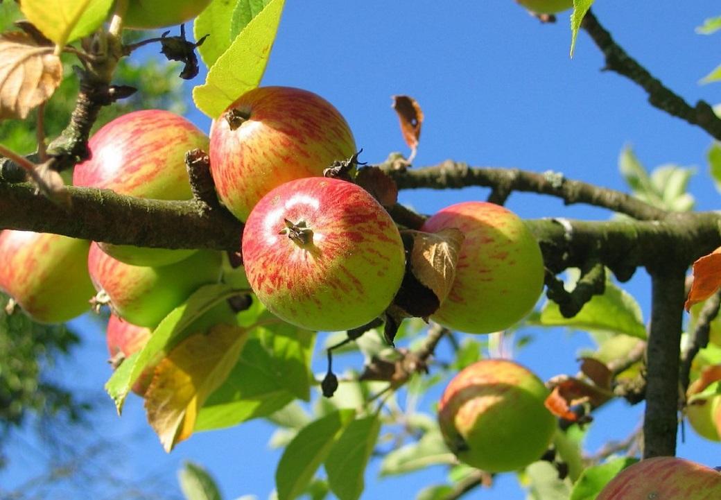 Pommes pommier