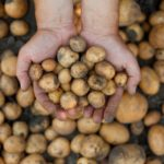 Jardinage: comment faire pousser soi-même ses pommes de terre facilement?