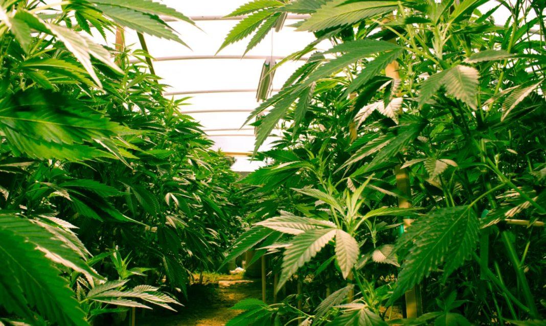 Culture cannabis