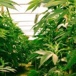 Enquête : la culture du cannabis à domicile a augmenté depuis le premier confinement