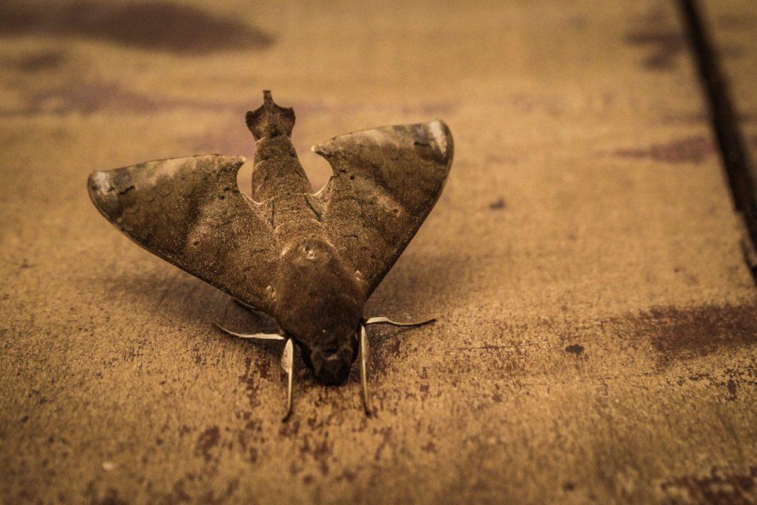photo gros plan d'un papillon de nuit au sol